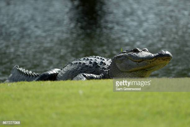 An alligator is seen on the eighth hole during the second round of the Sanderson Farms Championship at the Country Club of Jackson on October 27 2017...