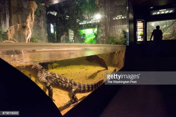 An alligator lays still in prime viewing area on the last day of the National Aquarium's DC branch in Washington DC on September 30 2013 The Aquarium...