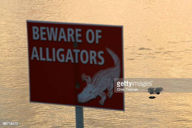 An Alligator lurks ominously behind the 17th green during the third round of the Zurich Classic at TPC Louisiana on April 24, 2010 in Avondale,...
