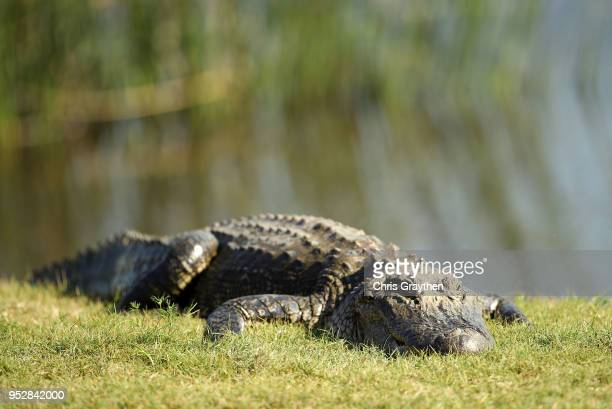 An alligator on the 18th green during the final round of the Zurich Classic at TPC Louisiana on April 29 2018 in Avondale Louisiana