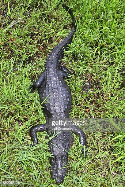 An alligator resting on the Anhinga Trail.