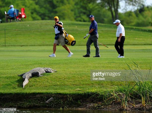 An alligator suns on 11th fairway as players take notice during the final round of the Legends Division at the Liberty Mutual Insurance Legends of...