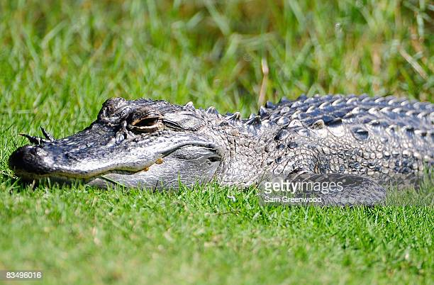 An alligator suns on the bank of the 13th hole during the first round of the Ginn sur Mer Classic at the Conservatory Golf Club October 30 2008 in...