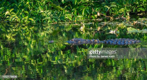 an alligator swims past in a waterway colored a vivid green by reflections in a south florida wetland. - delray beach stock pictures, royalty-free photos & images