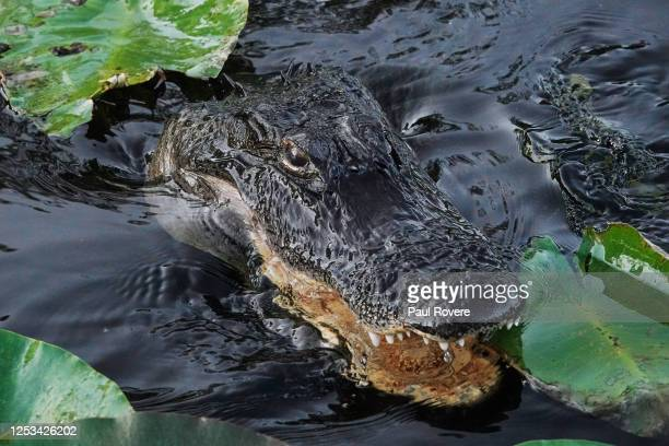 An alligator swims through the shallow water of the Everglades National Park on January 04 in Miami, Florida. There are over 200,000 alligators in...