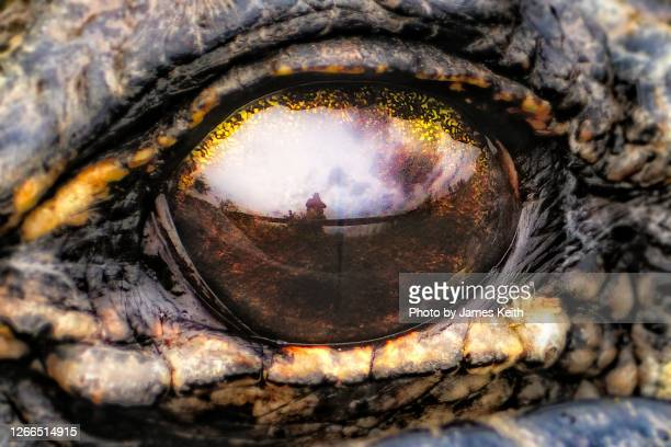 an alligator's eye reflects a silhouette of an onlooker. - anhinga_trail foto e immagini stock