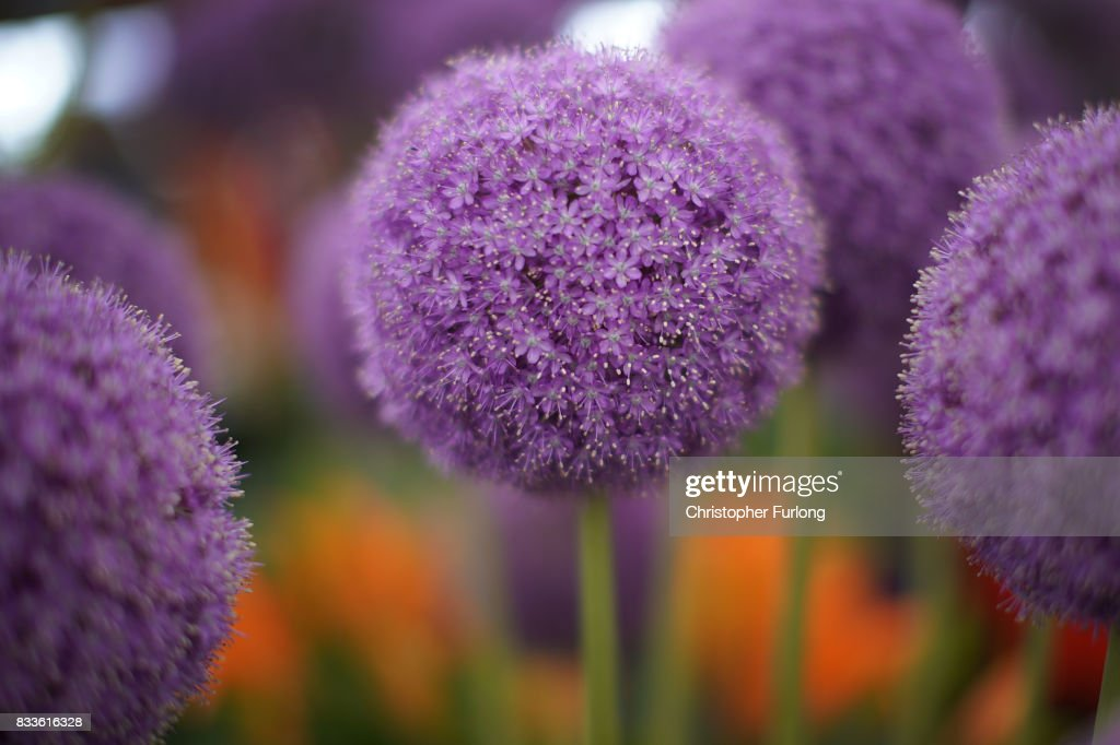 An allium giganteum blooms in the fine weather at Southport Flower Show on August 17, 2017 in Southport, England. Today is the opening day of Southport Flower Show which is is held over four days. The event is the UK's biggest independent flower show, attracting 80,000 visitors each year to see the flora and fauna at Victoria Park.