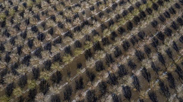 CA: California's Almond Bloom Season, Largest Pollination Event On Earth