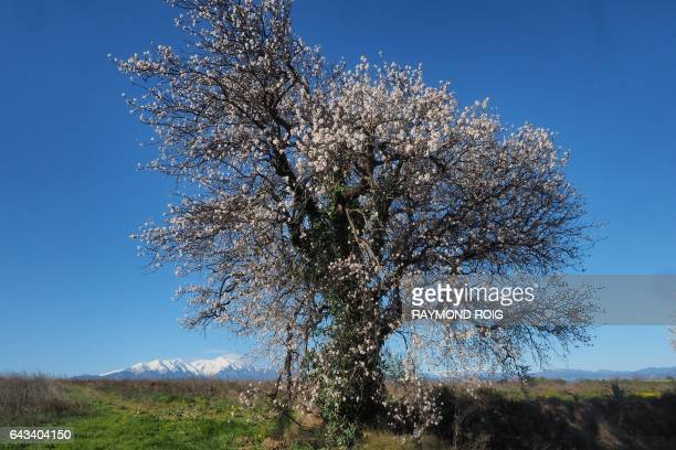 An almond tree in flowers is seen with the Canigou mountains on February 21 2017 near Perpignan / AFP / RAYMOND ROIG