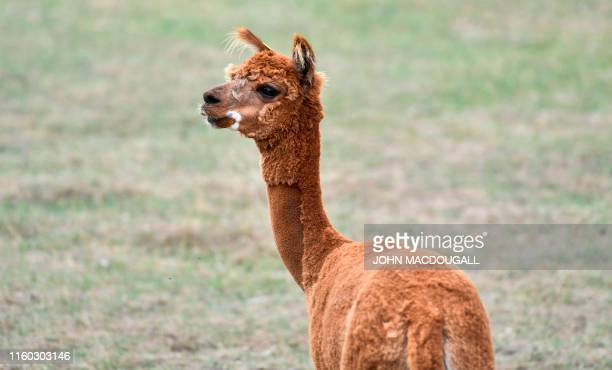 An Alpaca held for research puposes is seen in its enclosure at the Friedrich Loeffler Institute the Federal Research Institute for Animal Health on...