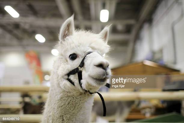 An alpaca in a stable on February 06 2017 in Berlin Germany