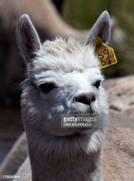 An alpaca is seen at a farm in the Puno region southeastern Peru on April 10 2019 The textile industry in Peru is committed to alpaca wool which...