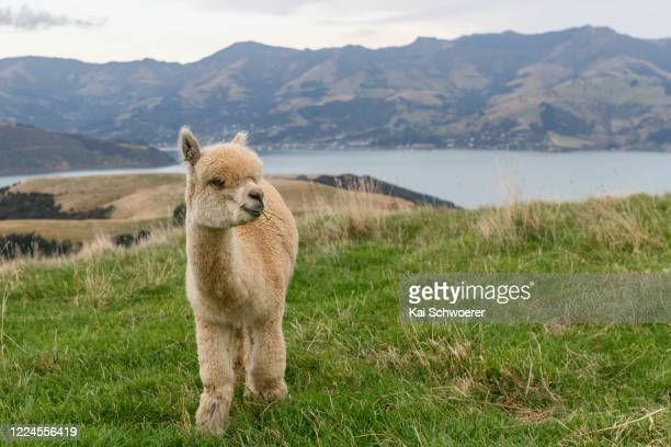 An alpaca is seen at Shamarra Alpacas on May 13 2020 in Akaroa New Zealand Their farm tours will recommence on May 14 Akaroa located on the Banks...
