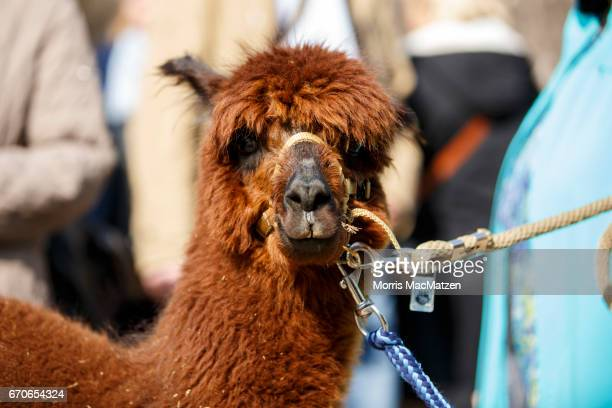 An alpaca stands at a farm where dementia patients spend the day as therapy in the village of Krukow on April 20 2017 near Geesthacht Germany...