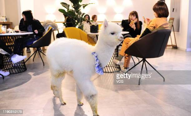 An alpaca walks around at a western restaurant on November 25 2019 in Shenyang Liaoning Province of China Boss of a western restaurant in Shenyang...