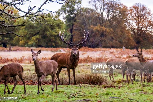 An alpha male stag protecting his deers in Richmond Park.