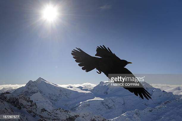 An Alpine Chough flies on December 1 2012 in the Titlis mountains above Engelberg central Switzerland AFP PHOTO / FABRICE COFFRINI