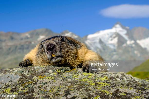 HEILIGENBLUT CARINTHIA AUSTRIA An Alpine marmot is lying on a rock the mountain Grossglockner in the distance at KaiserFranzJosefsHöhe