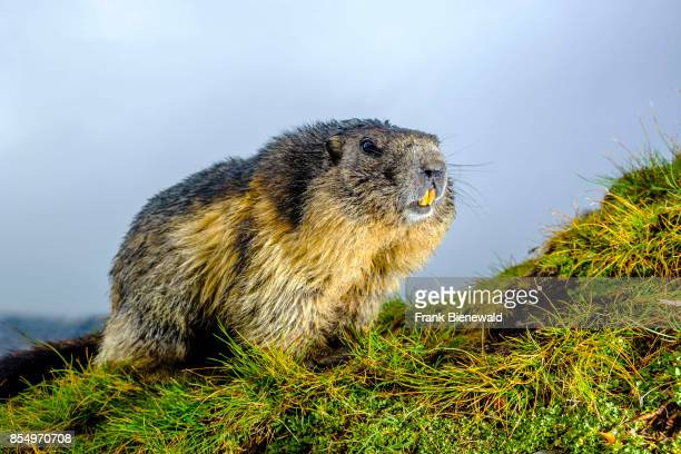 HEILIGENBLUT CARINTHIA AUSTRIA An Alpine marmot is sitting on a mountain slope at KaiserFranzJosefsHöhe