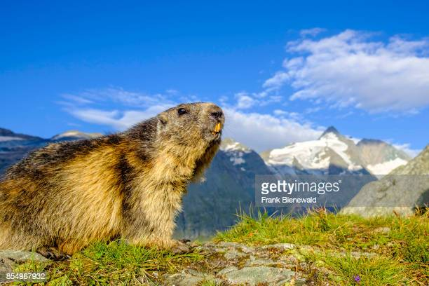 HEILIGENBLUT CARINTHIA AUSTRIA An Alpine marmot is sitting on a mountain slope the mountain Grossglockner in the distance at KaiserFranzJosefsHöhe