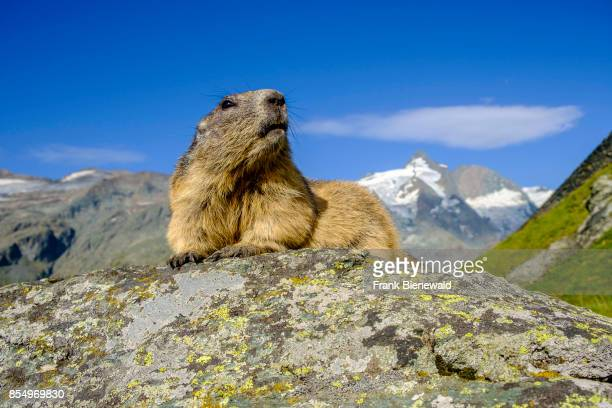HEILIGENBLUT CARINTHIA AUSTRIA An Alpine marmot is sitting on a rock the mountain Grossglockner in the distance at KaiserFranzJosefsHöhe