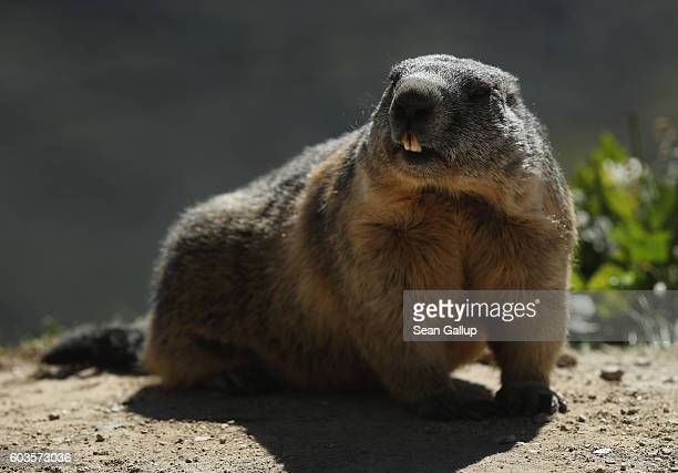 An alpine marmot stands near a parking lot on August 22 2016 near Gletsch Switzerland Marmots are a common sight in the Swiss Alps and some are very...