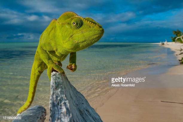 An amazing malagasy giant chameleon taking the pose on a beach in Nosy Ankao island, on July 20 Madagascar, Mozambique Channel, Africa. Also called...
