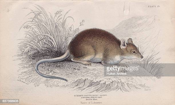 An Amazon bamboo rat a species of spiny rat from the Amazon Basin of South America Engraving by by William Home Lizars from a drawing by Charles...