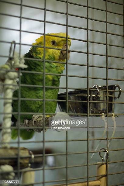 An Amazonian parrot sits in it's enclosure at Heathrow Airport's Animal Reception Centre on January 25 2011 in London England Many animals pass...