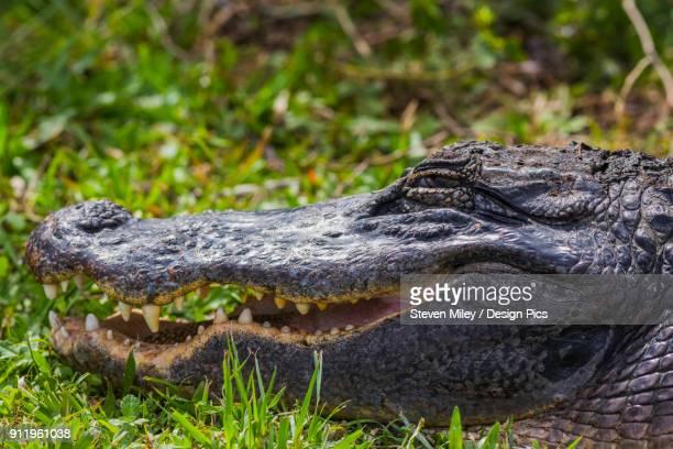 An American Alligator (Alligator mississippiensis) basks in the sun in Shark Valley, Everglades National Park