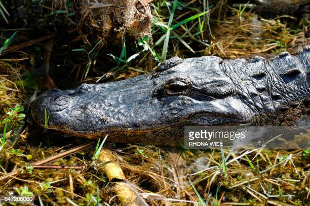 An American alligator is seen in the sawgrass on Miccosukee Tribal land adjacent to Florida Everglades National Park on February 7 2017 / AFP PHOTO /...