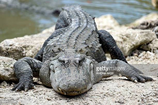 An American Alligator rests on a rock at the alligator lagoon at Everglades Alligator Farm in Homestead Florida on June 24 2016 Florida famed for its...