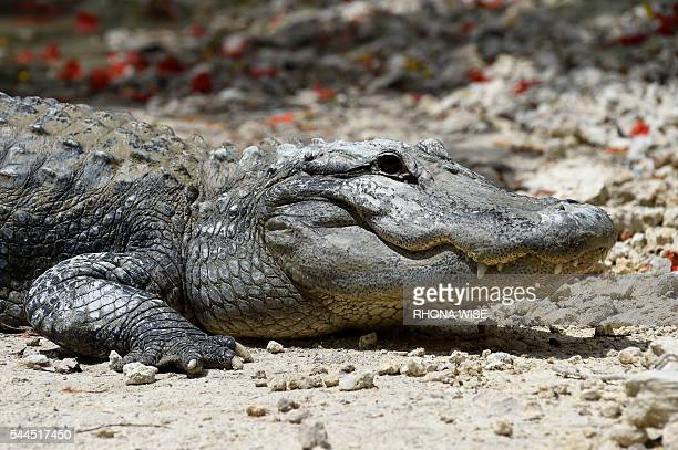 An American Alligator rests on the shore of the alligator lagoon at Everglades Alligator Farm in Homestead Florida on June 24 2016 Florida famed for...