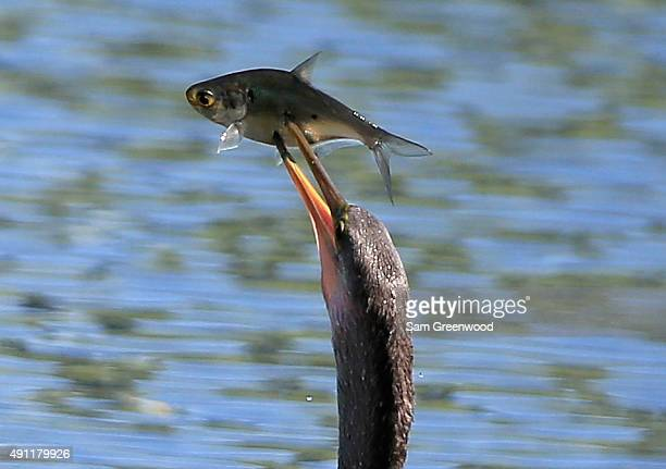 An american anhinga spears a fish during the third round of the Webcom Tour Championship at the TPC Sawgrass Dye's Valley Course on October 3 2015 in...