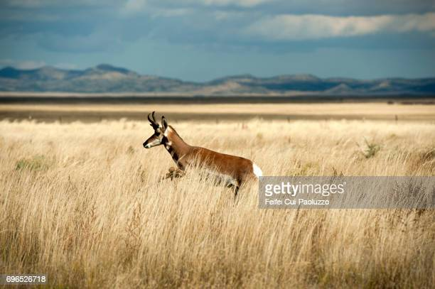 An American antelope at Socorro, New Mexico state, USA