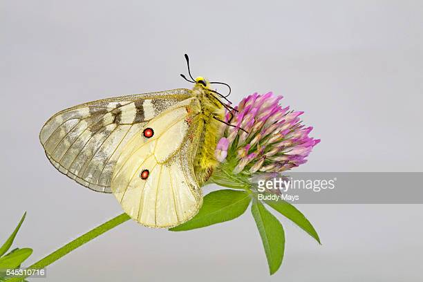 An American Apollo Butterfly
