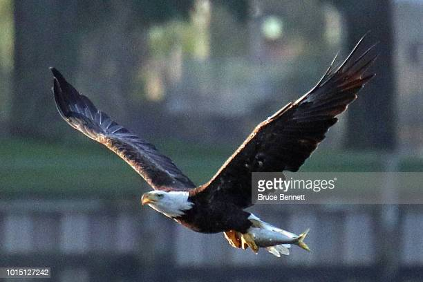An American bald eagle carries a freshly caught fish at Mill Pond on August 10 2018 in Centerport New York