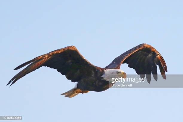 An American bald eagle flies over Mill Pond on July 29 2018 in Centerport New York