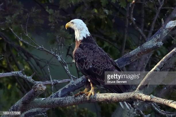 An American bald eagle sits on a branch at Mill Pond on July 21 2018 in Centerport New York