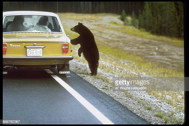 An American black bear peeks in the window of this car to see if there is anything good to eat inside Yellowstone National Park Wyoming ca 19601990