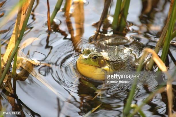 an american bullfrog (lithobates catesbeinus) - bullfrog stock pictures, royalty-free photos & images