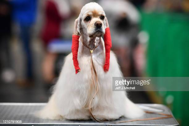 An American Cocker Spaniel is prepared for day 2 of the Cruft's dog show at the NEC Arena on March 6, 2020 in Birmingham, England. The annual...