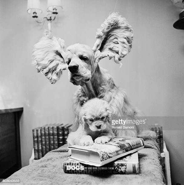 An American cocker spaniel with its ears held aloft discovers a puppy apparently reading books on canine breeding UK 18th February 1970