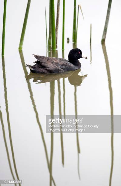 An American Coot makes his way around the bulrush at the San Joaquin Wildlife Sanctuary in Irvine CA on June 12 2013 The sanctuary has more than 11...