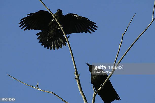 An American crow lands on a tree in an area where dead and dying crows have become an increasingly common site near the San Gabriel River on July 10...