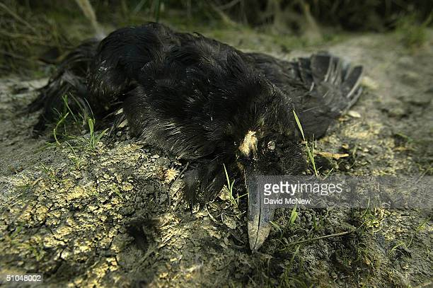 An American crow lies dead an increasingly common site near still pools of water where West Nile Virusinfected mosquitoes might be breeding along the...