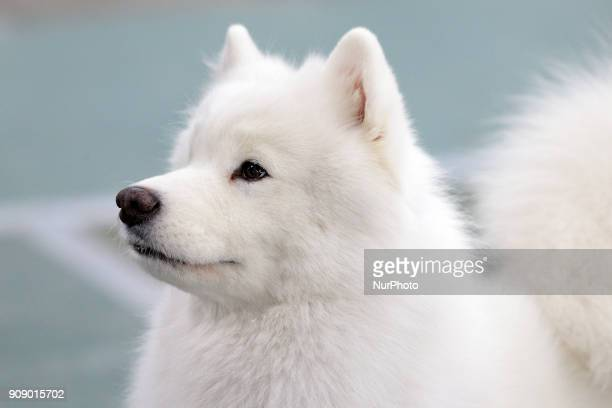 An American Eskimo during the Michigan Winter Dog Classic show at Suburban Showcase Collection in Novi in Michigan USA on Sunday January 21 2018 More...