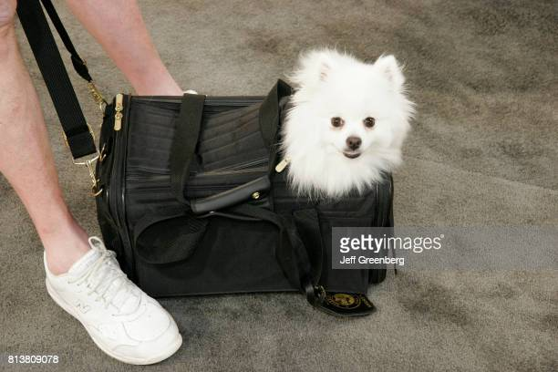 An American Eskimo toy breed in a bag at Art Miami