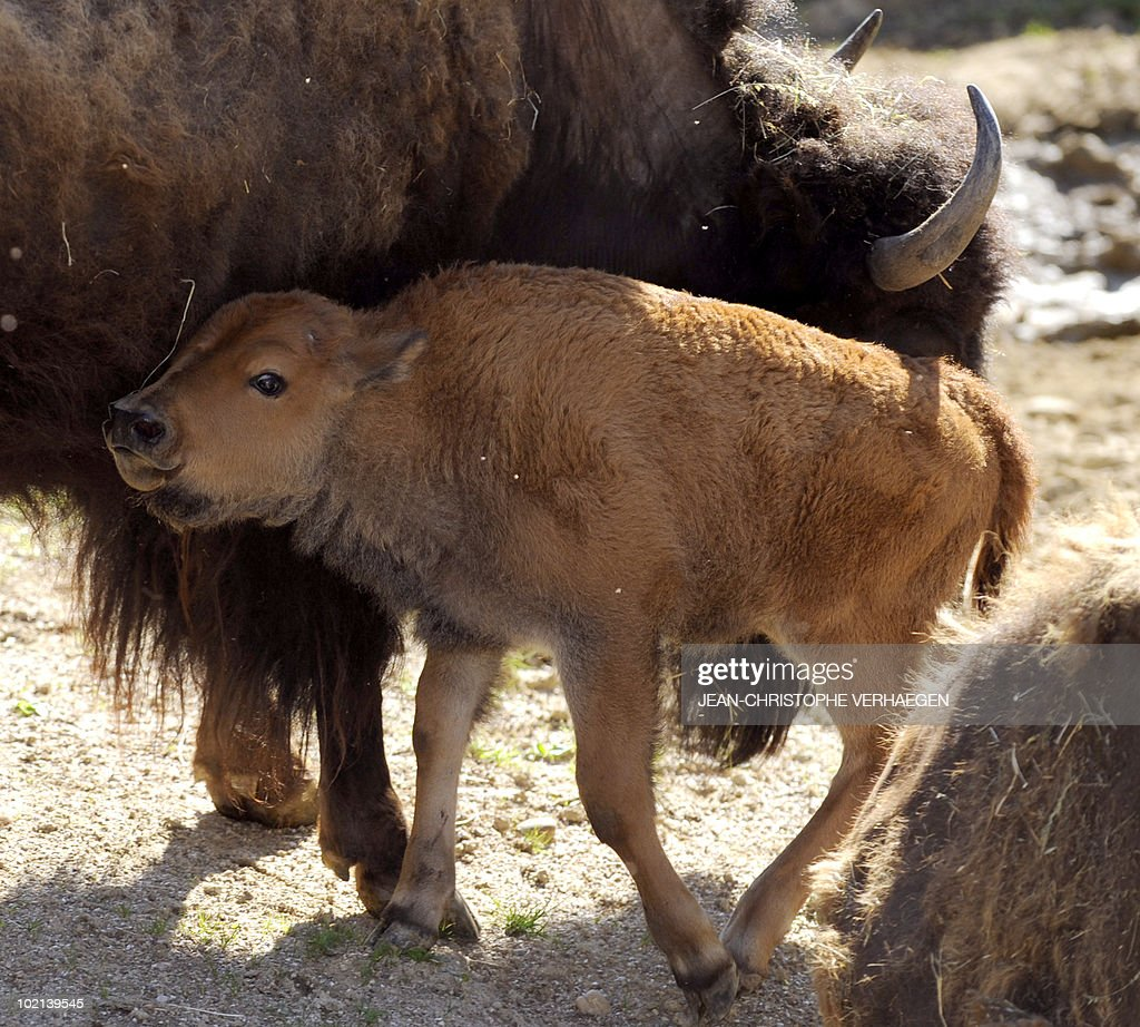 An American female bison calf and its mother are pictured at the Amneville zoo, eastern France, on June 04, 2010.