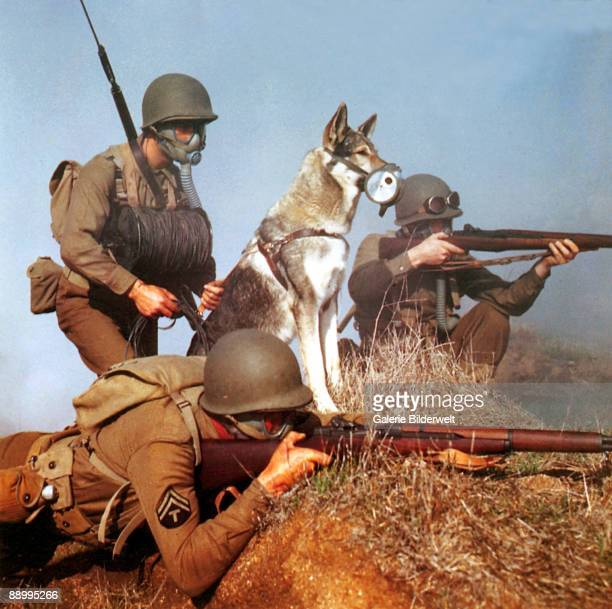 An American infantryman prepares canine film star Rin Tin Tin III to lay a field telephone line during a training exercise USA 1944